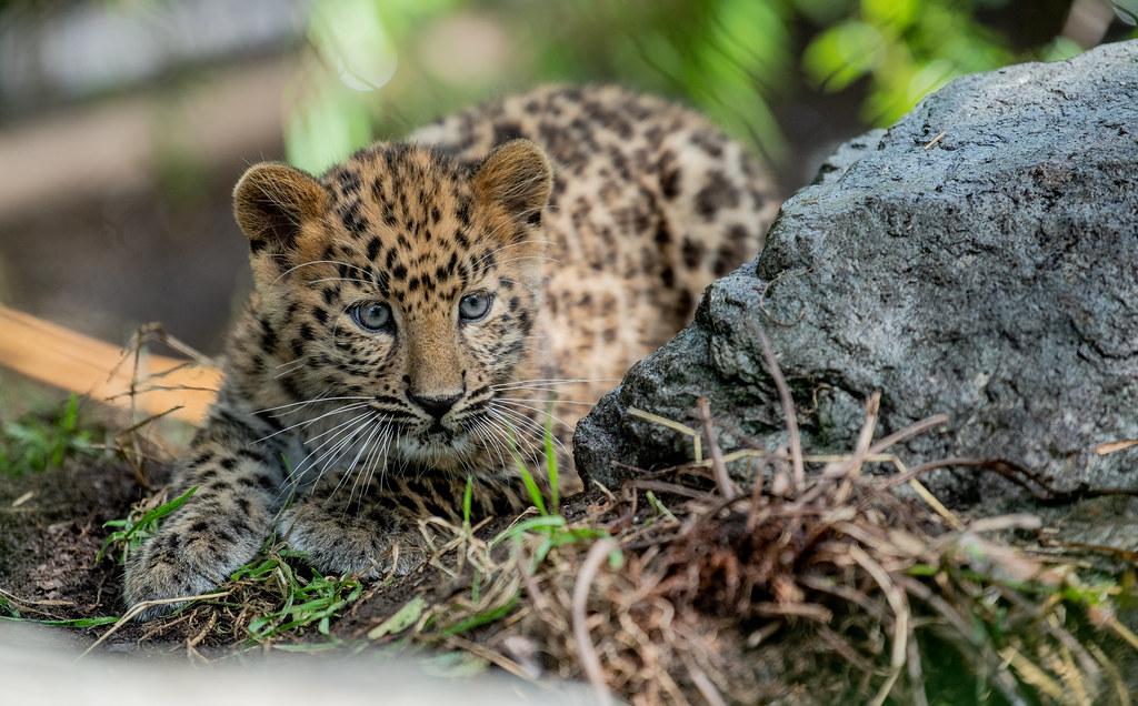 Amur Leopard2_1