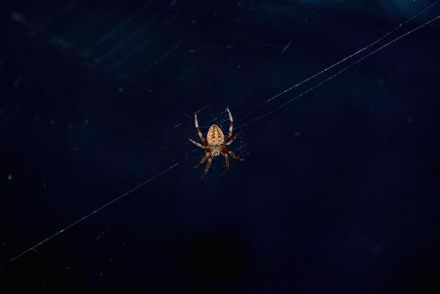 2017 Orb Weaver Spider, Nikon D500, AF Micro-Nikkor 200mm f/4D IF-ED
