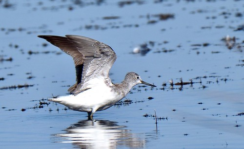 Waders - Common Greenshank