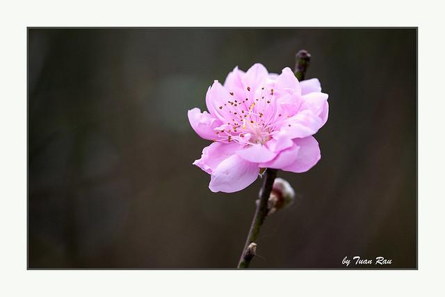 SHF_7018_Peach blossom!!!