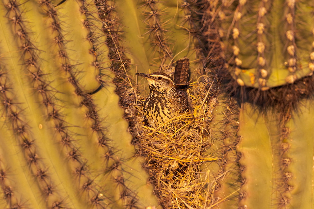 A cactus wren sits in a nest it was building in the arms of a saguaro at the Brown's Ranch trailhead in McDowell Sonoran Desert in Scottsdale, Arizona