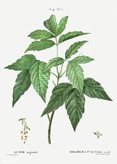 Box elder (Acer negundo) illustration from Traité des Arbres et