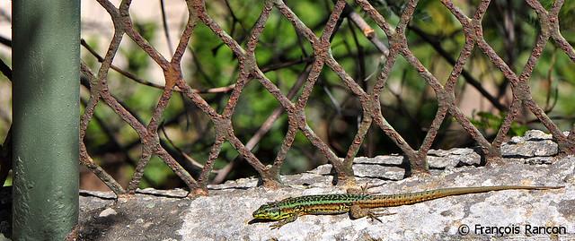 Podarcis filfolensis mâle 2