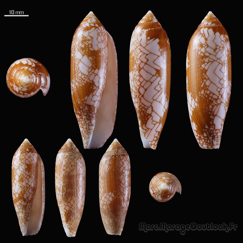 Conus (Darioconus) auratinus da Motta, 1982 - Page 2 46498730105_ca01542d61_c