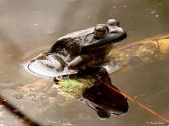 February Frog.