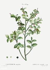 European blueberry bush
