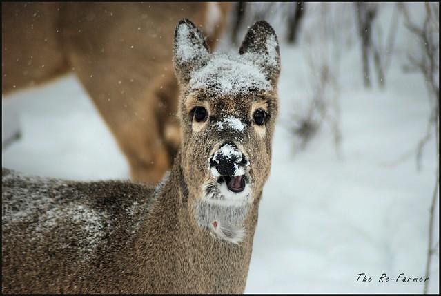 2019-02.white.tail.deer.toughguy
