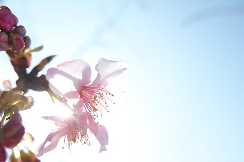 荒川区役所の桜
