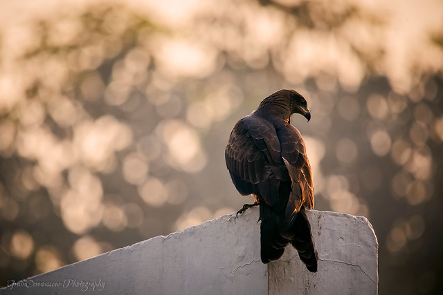 Black Kite on the top of the building, Old Delhi