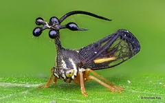 Ball-bearing Treehopper, Bocydium globulare, Membracidae