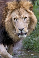 Last lion picture