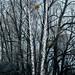 Birken am Rohrspitz by aamuru