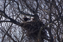 Eagle_nest_construction_1