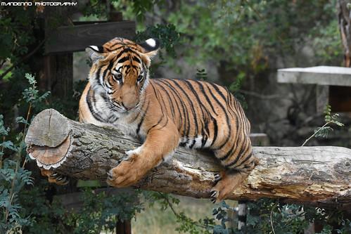 Malayan Tiger - Zoo Prague