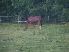 20080515 22998 0905 Jakobus Pferd Wiese braun - Photo of Saint-Sixte
