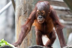 Young Orangutan Reaching for Food