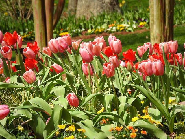 Tulips at Gibbs Gardens