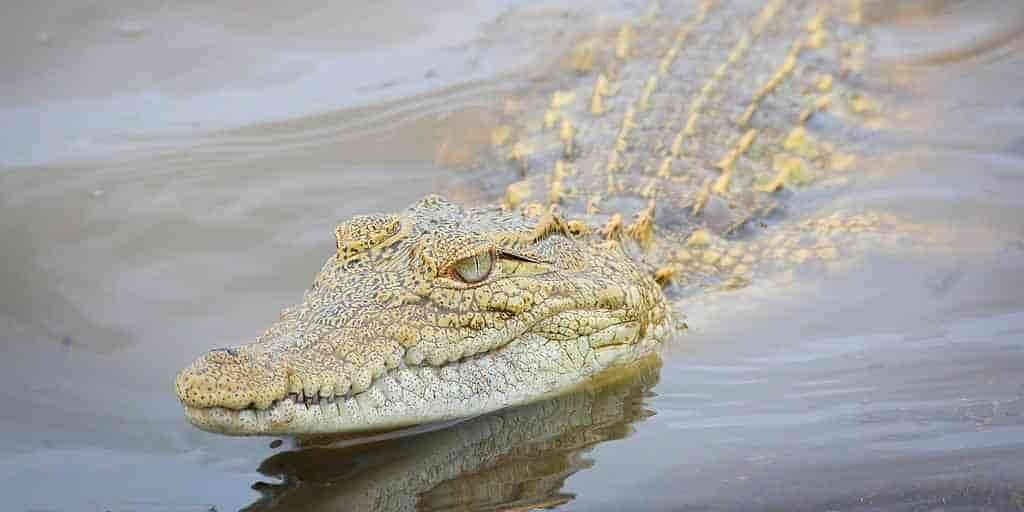 alligators-mangent-des-pierres