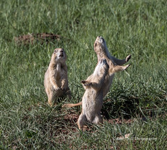 """Black-tailed Prairie Dogs barking and doing """"the wave"""" - - Wind Cave National Park, SD/06"""