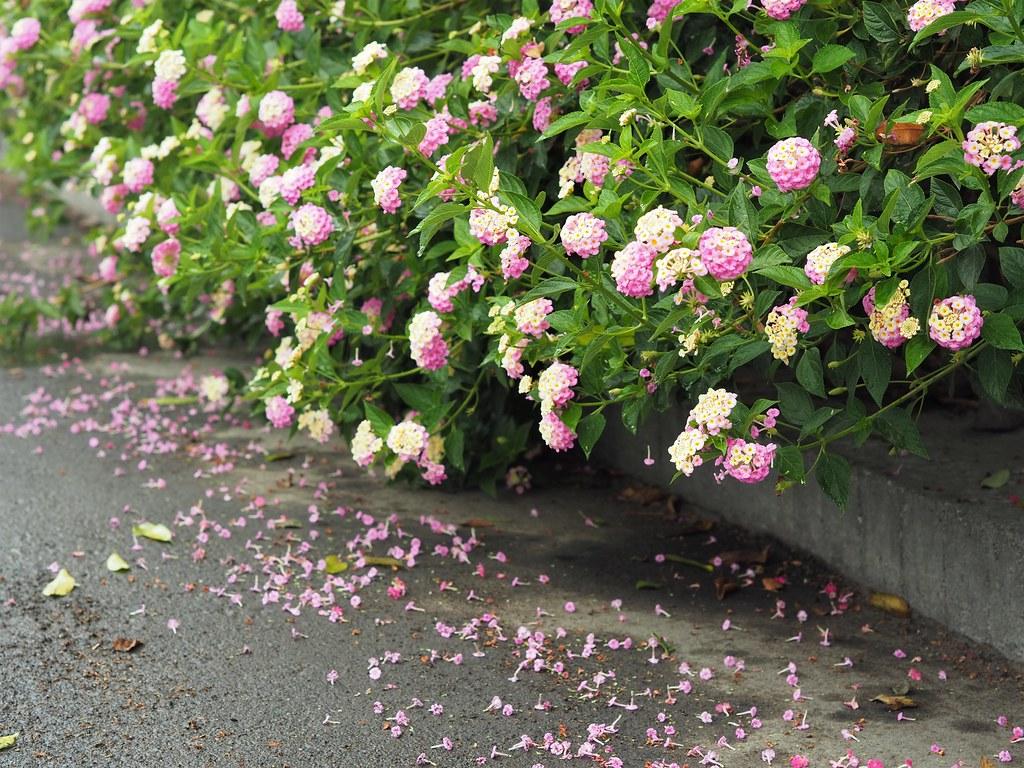 善化大安草莓 (7)