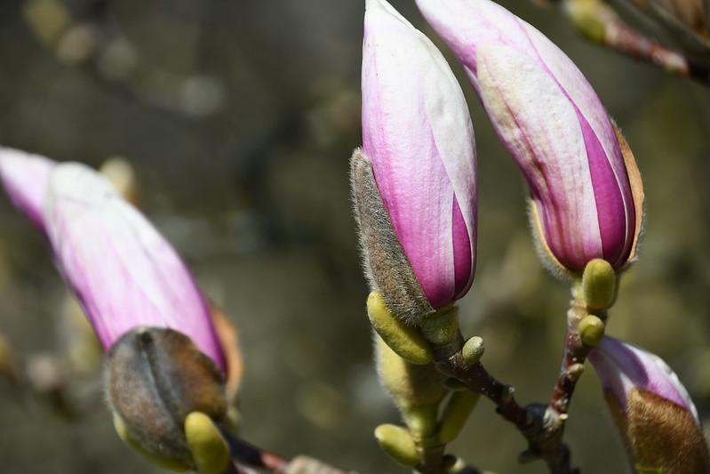 Magnolia 26.03 (3)