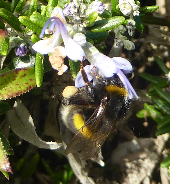 worker bumblebee on rosemary