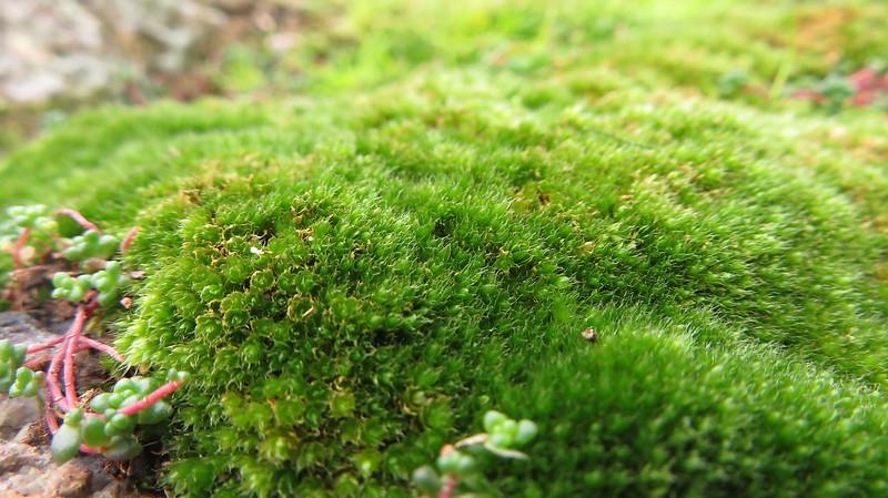 Moss, Shadyback Tor