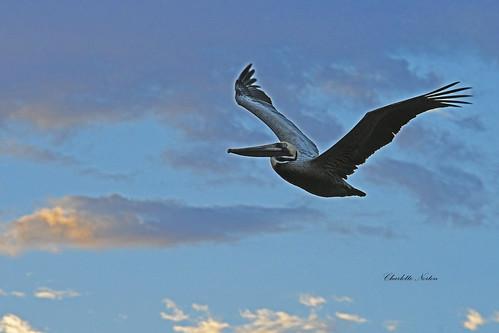 Brown Pelican at Sunrise