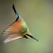Rainbow Bee-eater by Chris.Kookaburra