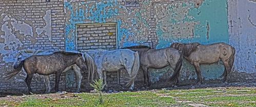 Horses Eastern Mongolia DSC_0975