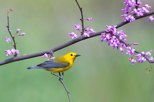 Prothonotary Warbler on Redbud - Ohio