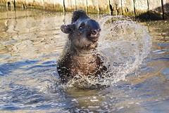 Tapir terrestre (Tapirus terrestris)