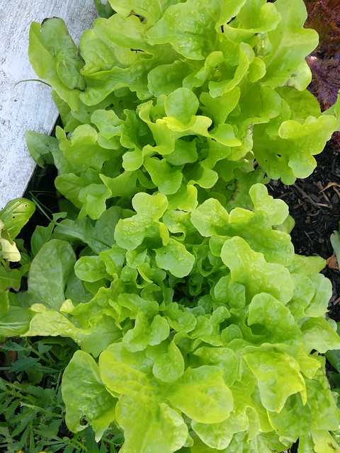 frilly lettuces