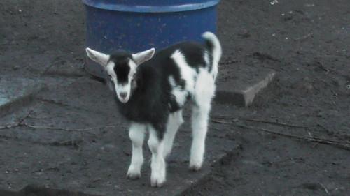 goat kid Jan 19 (1)