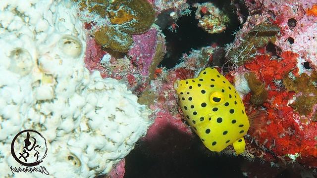 ミナミハコフグ幼魚ちゃんもかなり大きくなってぶちゃカワイイ感じにw