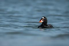 An Odd Duck