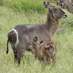 Female Waterbuck and Calf – South Africa