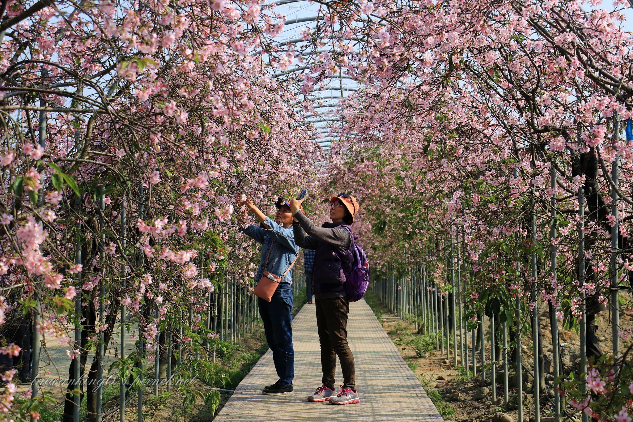 芬園花卉生產休憨園區的垂櫻