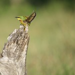 Little Bee Eater – South Africa