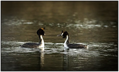 Pair of Crested Grebes