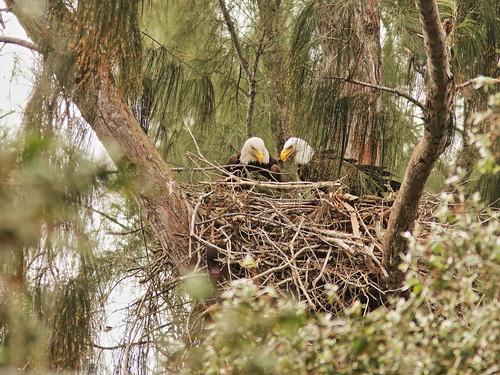 Bald Eagle 6132-20190125