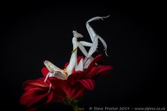 Orchid Mantis Diematic Display