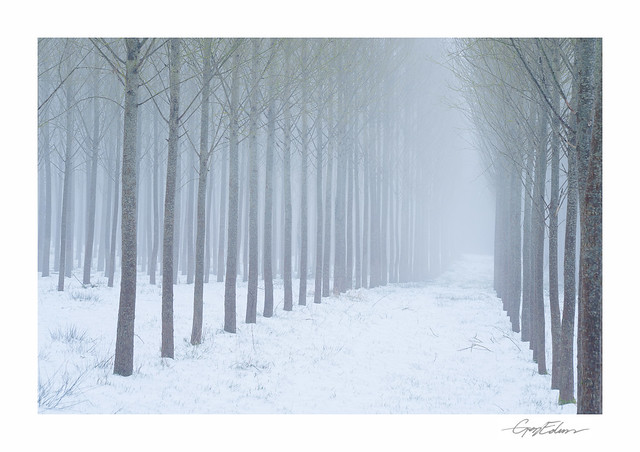 Silver Trees in Snow