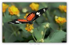Hunawihr La serre aux papillons