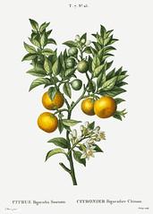 Bitter orange (Citrus bigaradia sinensis) illustration from Trai