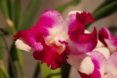 Cattleya Gila Wilderness