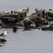 Harbor Seals at Sandy Hook, NJ