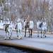 Reindeer Butts