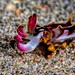 FLAMBOYANT CUTTLEFISH(30mm) by Sonja Ooms