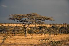 Acacia tree Piaya in the Serengeti